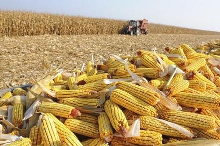 Left or right ms esta entre os estados com maior producao de milho do pais 5d55525c58342